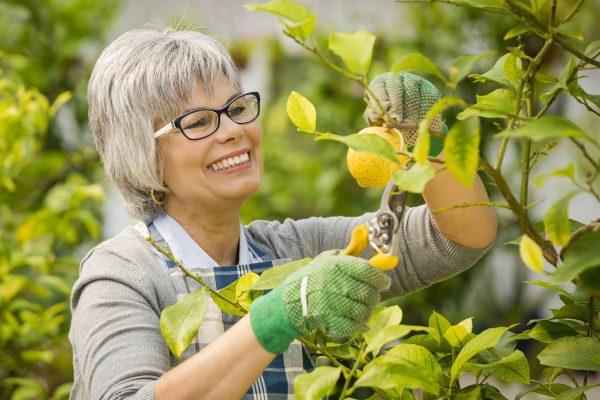 レモンの栽培