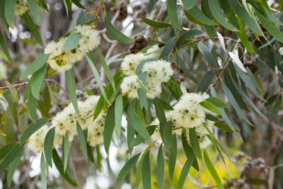 blossoming eucalyprus microcarpa