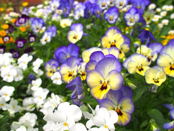 ビオラの花壇