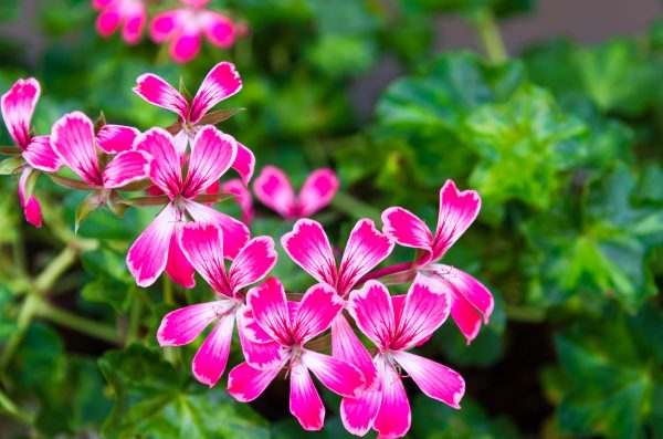ゼラニウム 花