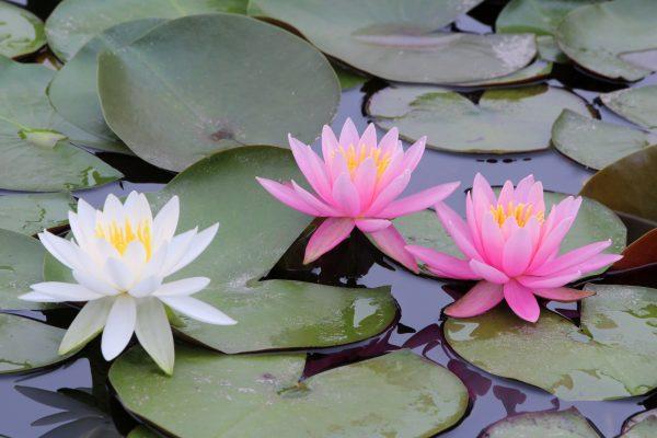 花を咲かせている睡蓮