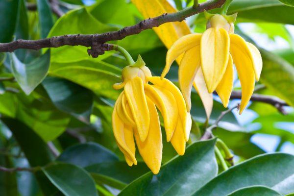 イランイランの黄色い花