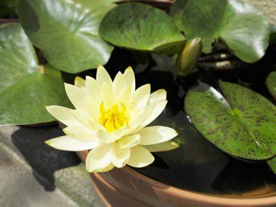睡蓮鉢に咲く睡蓮の花
