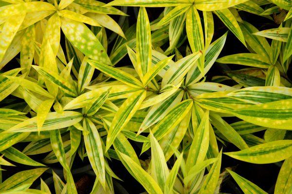 ドラセナの葉