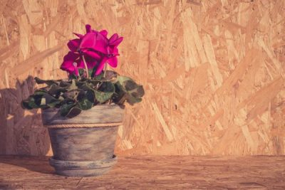 Pink cyclamen flower on wooden background