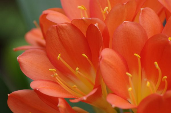 君子蘭の花