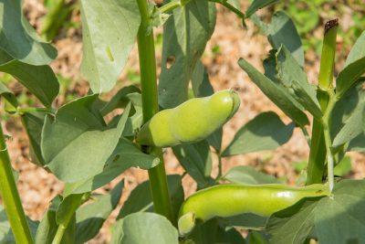 収穫前のそら豆