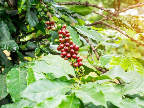 実がなっているコーヒーの木
