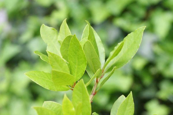 月桂樹(ローリエ)の葉
