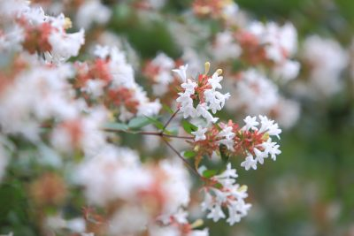 Abelia, small white flowers that bloom in summer.