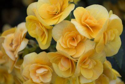 黄色のベゴニア
