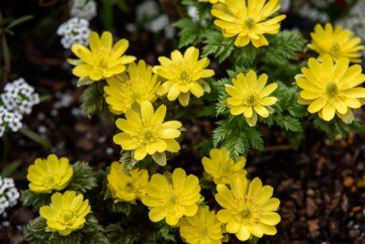 福寿草の黄色い花