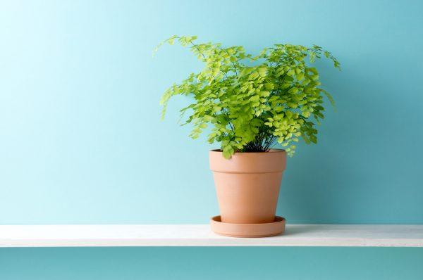 アジアンタムの鉢植え