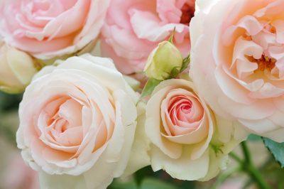 ピエールドロンサールの白い花